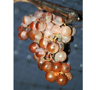 As set forth in the BC Wine Laws, icewine grapes MUST BE naturally frozen on the vine.  (Photo: Flickr user, rivard)