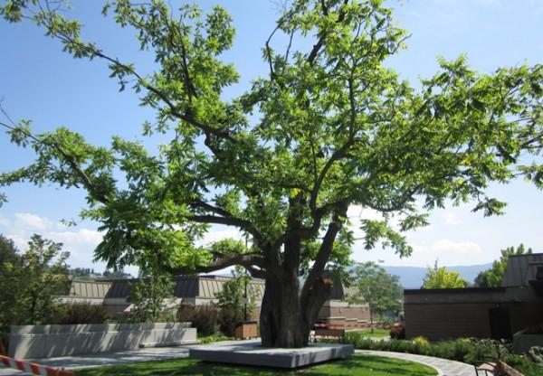 A Heartfelt Loss Over Heartnut Tree Vernon News