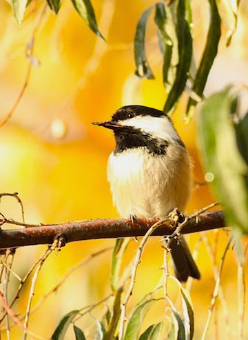 This Black-capped Chickadee was taken at Munson Pond Park by Logan Lalonde (14). Check out more reader photos here.