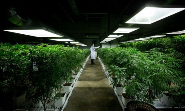 Health Canada Swamped with Medical Marijuana Business Applications