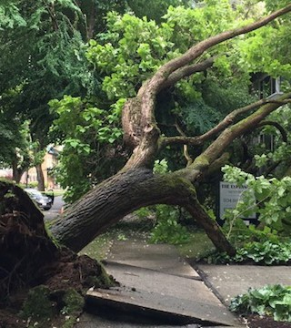 A huge tree has toppled in Vancouver's West End, damaging two low-rise apartments, but no one knows why it came down.