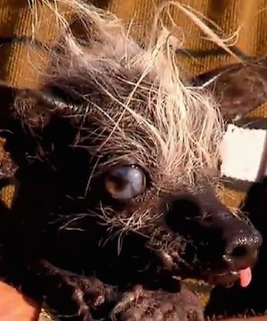 A 17-year-old Chihuahua with legs bowed out like a frog and an oozing sore is the winner of the World's Ugliest Dog contest.