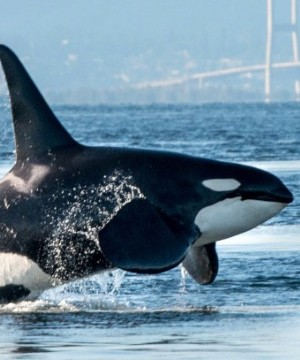 The federal government has proposed a plan to protect the threatened killer whales off Canada's West Coast.