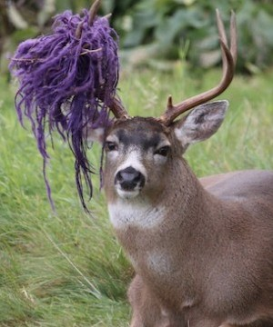 The Conservation Officer Service plans to help Hammy, a northern B.C. deer who got his antlers tangled in a hammock.