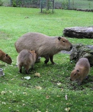 The offspring of Toronto's wandering capybaras have been named after the members of Rush.