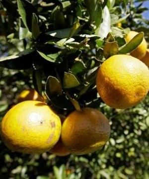 The price of oranges at the grocery store may jump in coming weeks, experts say, after hurricane Irma left some of Florida's citrus producers wiped out.