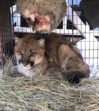 A young cougar, orphaned when its mother was hit by a vehicle, is recovering from frostbite and hunger in Williams Lake.