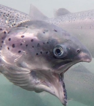 Salmon farms will remain in B.C. waters for at least another two months.