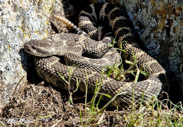 Fire Crews Fend Off Snakes Penticton News Castanet Net