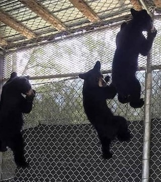 Bear cubs are costly to care for. 18 makes things even harder, they can eat 550 pounds of food a day collectively.