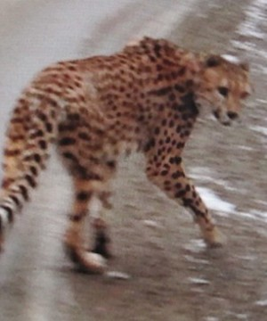 Environmental Appeal Board says cheetahs not allowed back in Kootenays.