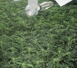 how to become a licensed marijuana grower in canada