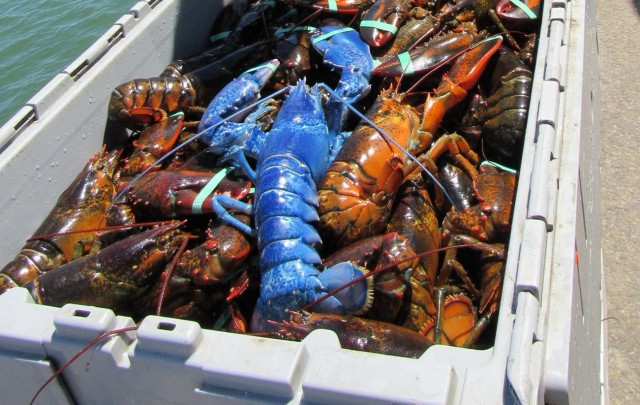 Man snags rare bright blue lobster - his 2nd time in decades