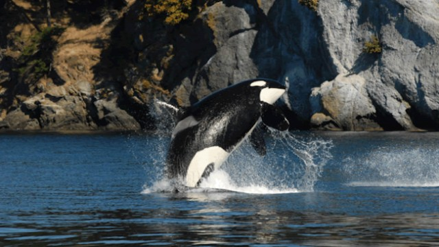 Oldest known orca considered dead