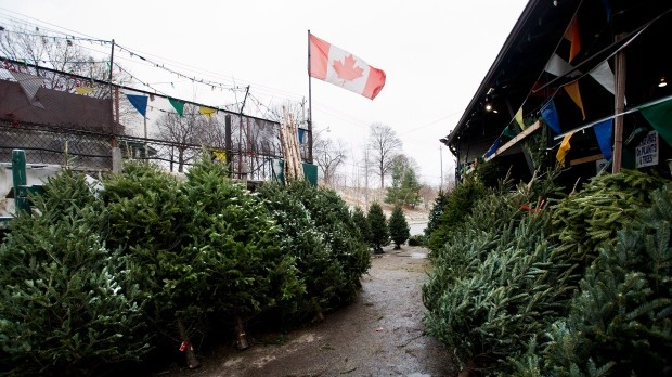 Good Conditions Mean Picture-Perfect Christmas Trees This Year