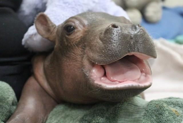 Cincinnati Zoo's Prematurely-Born Hippo Celebrates Three Months
