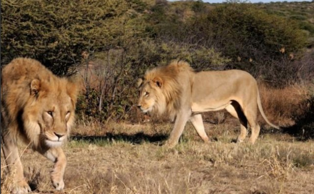 South Africa captures 4 of 5 lions that escaped Kruger park