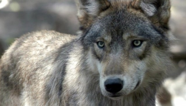 Wolf beats beaver in Calgary Zoo's contest for Canada's Greatest Animal