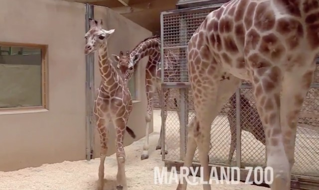 Baby giraffe receives another plasma transfusion