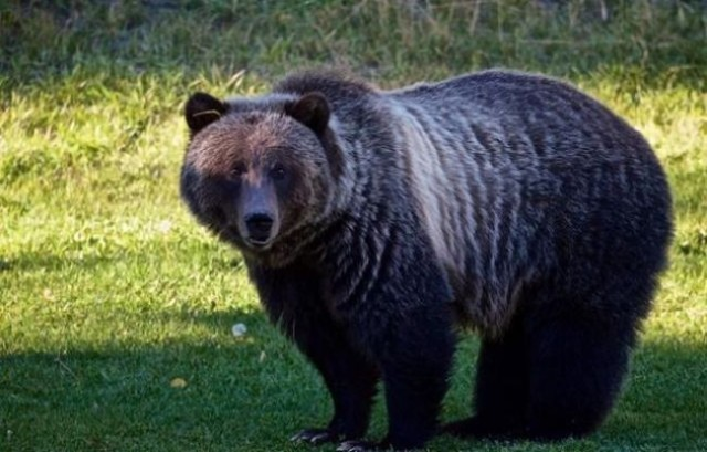 BC ending grizzly bear trophy hunt