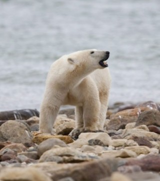 There are too many polar bears in parts of Nunavut and climate change hasn't yet affected any of them.