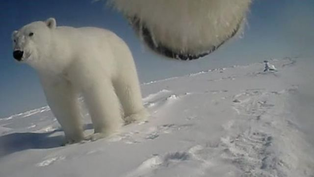 Lifetime of polar bears captured on collar cameras