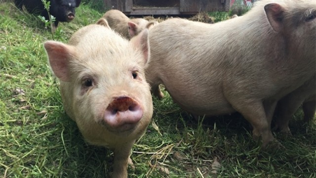 Individual who ate adopted pig banned from future adoptions