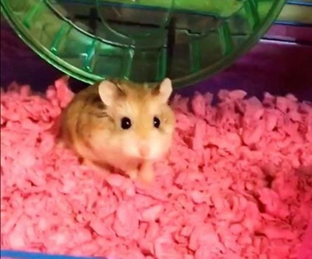 Airline Suggested Passenger Toilet Flush Emotional Support Hamster, Woman Claims