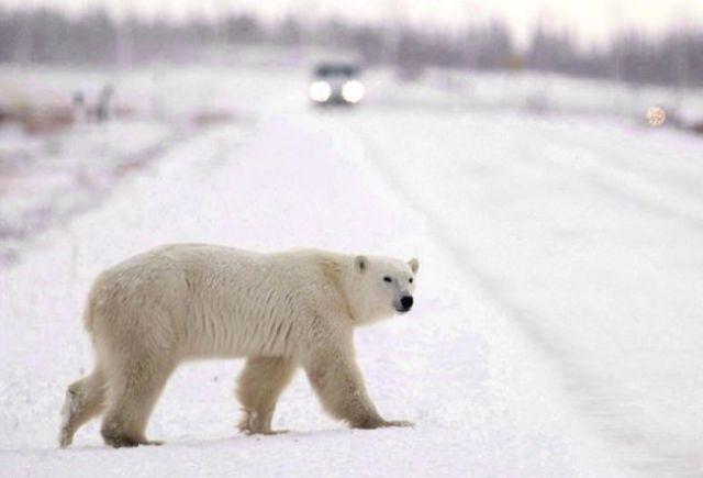 polar bears head north early canada news castanet net