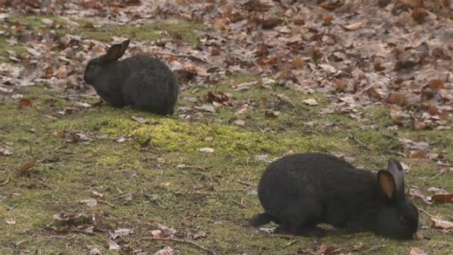 Island rabbit owners warned about deadly virus, Report