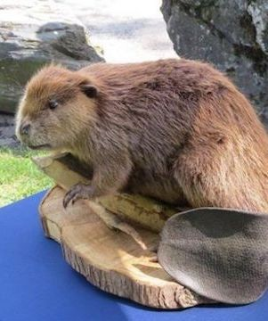 Fraser Valley parks' furry mascot taxidermied beaver stolen.