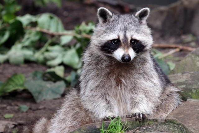 Beware Zombie Raccoons World News Castanet Net