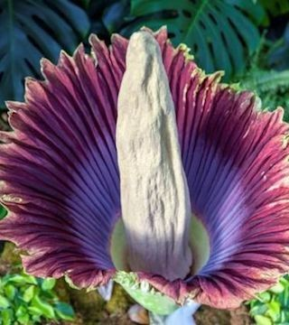 What does a corpse flower smell like? You guessed it!