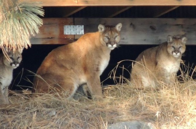 Boys Attacked By Cougars
