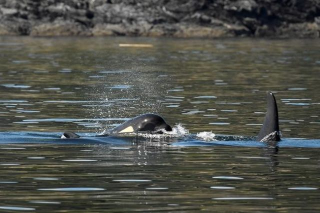 Grieving orca highlights plight of endangered whales