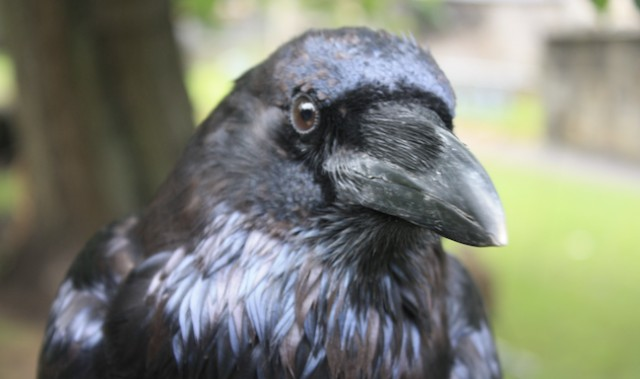 Dead ravens in B.C. test positive for West Nile virus