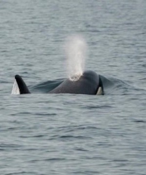 Researchers prepare to give sick killer whale more medication off coast of Vancouver Island.