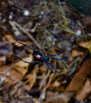 Jana Dinsmore took this photo of a black widow in her compost pile earlier this week.