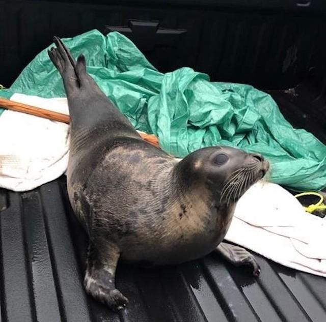 Dozens of Seals Were Trapped Ashore in a City in Canada