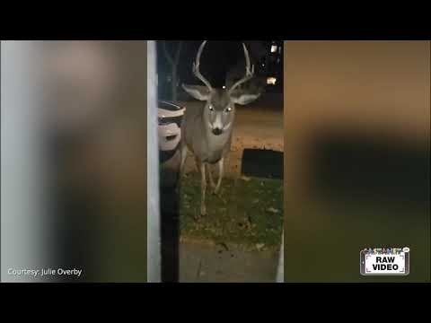 Buck has staring contest with pair of dogs in downtown Kelowna - Kelowna News