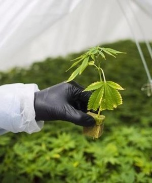 CannTrust to destroy $77 million worth of pot plants and inventory to comply with Health Canada rules.