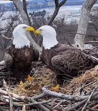An eagle soap opera: star-crossed lovers, a stable relationship threatened by younger suitors, and pregnancy and loss.