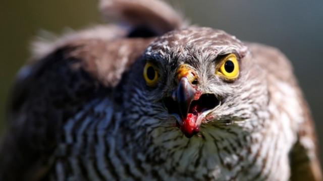 Hawk eyes, claws on job