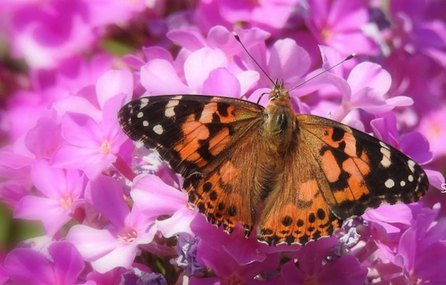 Butterfly Effect is back - Kelowna News