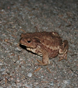 An annual migration involving tens of thousands of toads is underway in Whistler.