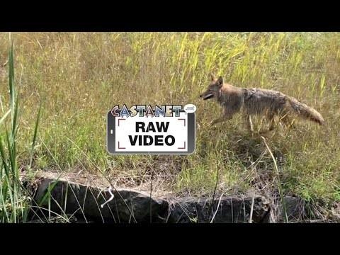 Coyotes show no fear - Kelowna News