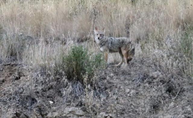 Coyotes nabbing cats, fowl - Kelowna News