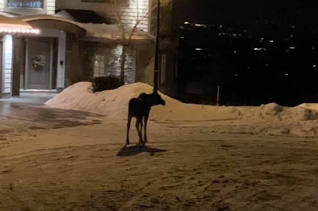 Black Mountain moose spotted in Kelowna streets again - Kelowna News