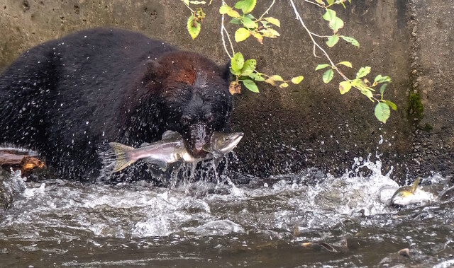 Pink salmon stick on east Vancouver Island appear healthy - BC News