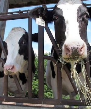 Dairy farmers call for compensation amid pandemic, CUSMA losses.